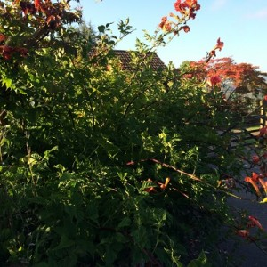 Climbing Plants and Clematis from Wiltshire's Downside Nurseries