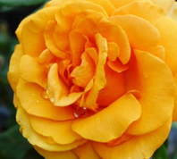 Gorgeous Hybrid Tea Rose Flower in yellow/orange