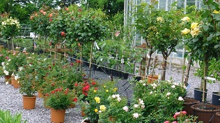 Wide range of Standard & Patio Roses