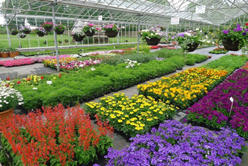 Colourful Bedding Plants | Downside Nursuries