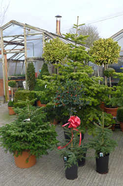 Christmas Trees of all sizes from Downside Nurseries
