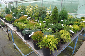 Pot grown conifers ready for transplanting | Downside Nursuries
