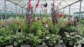 Mukdenia Crimson Fans, Astrantia Monarda Ruby Wedding, Veronica Longifolia, Delphinium Magic Fountains SKy Blue with White Bee