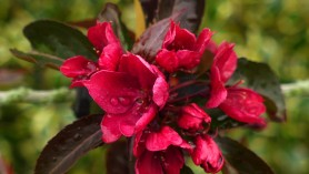 Malus crab apple Royalty