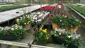 Cyclamen & Pansies end Nov