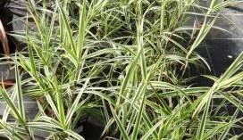 Image of Carex plyllocephala Whirling Sparkler