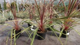 Image of Cordyline australis Can Can-Cabbage Palm is a tropical looking evergreen with spiky foliage is a tropical looking evergreen with spiky foliage