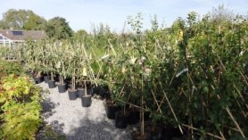 Fruit Trees remaining at Downside 29 Sept
