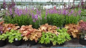 Image of Penstemon Czar, Lobelia Hadspen Purple, Sedum Jennifer , Geranium Blue Sunrise, Heuchera Caramel at Downside Nurseries