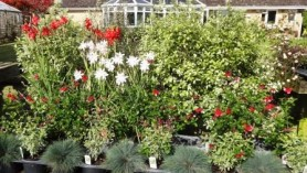 Image of the display table at Downside Nurseries showing Schizostylis Plants: Pink Princess & Cindy Towe, Salvias Royal Bumble & greggii Caramba with Corynephorus canescens Spiky Blue