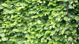 image of Beech hedging