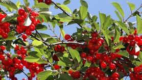 Morello Cherries v dessert cherries