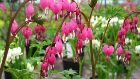 "An image of Dicentra spectabilis as an example of one of the plants changing names; see the article ""A rose by any other name"""