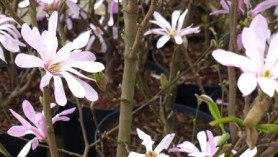 Magnolias at Downside Nurseries