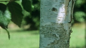 Betula utilis var. jacquemontii 'Moonbeam' Himalayan birch 'Moonbeam'