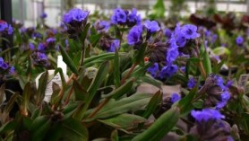 Pulmonaria Blue Ensign at Downside Nurseries - one of the many herbaceous plants