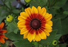 Rudbeckia Summerina at Downside Nurseries