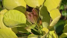 Cotinus coggygria Golden Spirit = 'Ancot' (PBR)