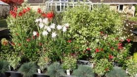 Schizostylis (Hesperantha)Plants- Pink Princess & Cindy Towe, Salvias Royal Bumble & greggii Caramba with Corynephorus canescens Spiky Blue