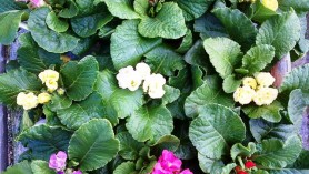 Primula vulgaris Primlet series W at Downside