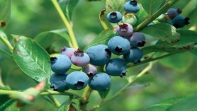 Blueberry Soft Fruit Variety