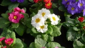 Primula assorted colours