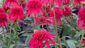 Echinacea-Double-Scoop-Cranberry