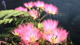 Albizia jul Tropical Dream