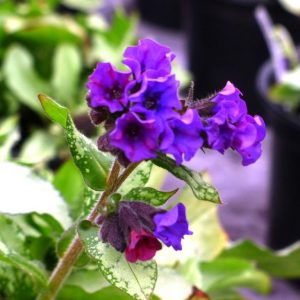 Early spring newsletter Pulmonaria-Diana-Clare