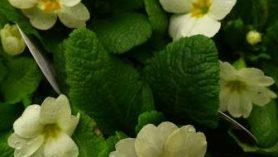 Primula English primrose