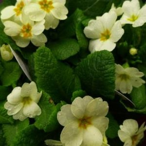 early spring newsletter Primula-English-primrose