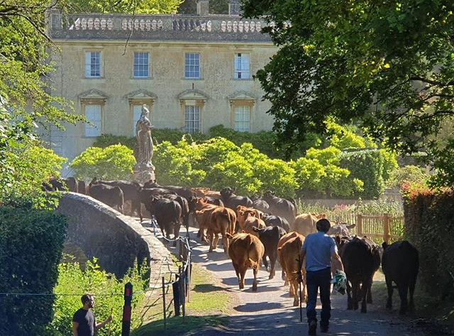 Iford-Manor-cows-crossing