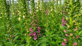 20L pots of foxgloves close up Digitalis purpurea dalmatian F1,