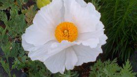 Romneya Coulteri Flower