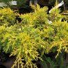 Juniperus-media-Golden-Saucer-Custom